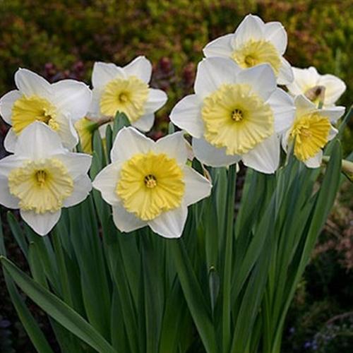 Organic Daffodil Bulbs