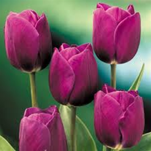 Organic Tulip Bulbs