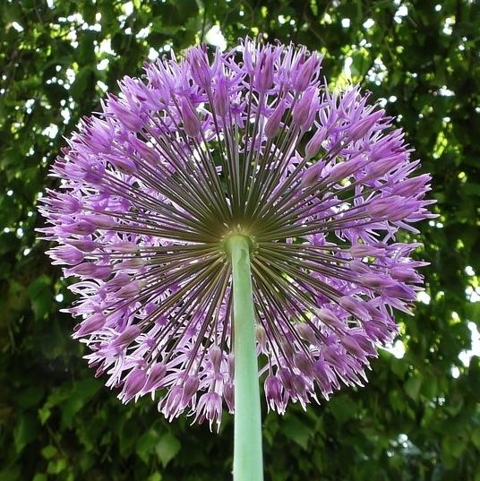 Organic Alliums