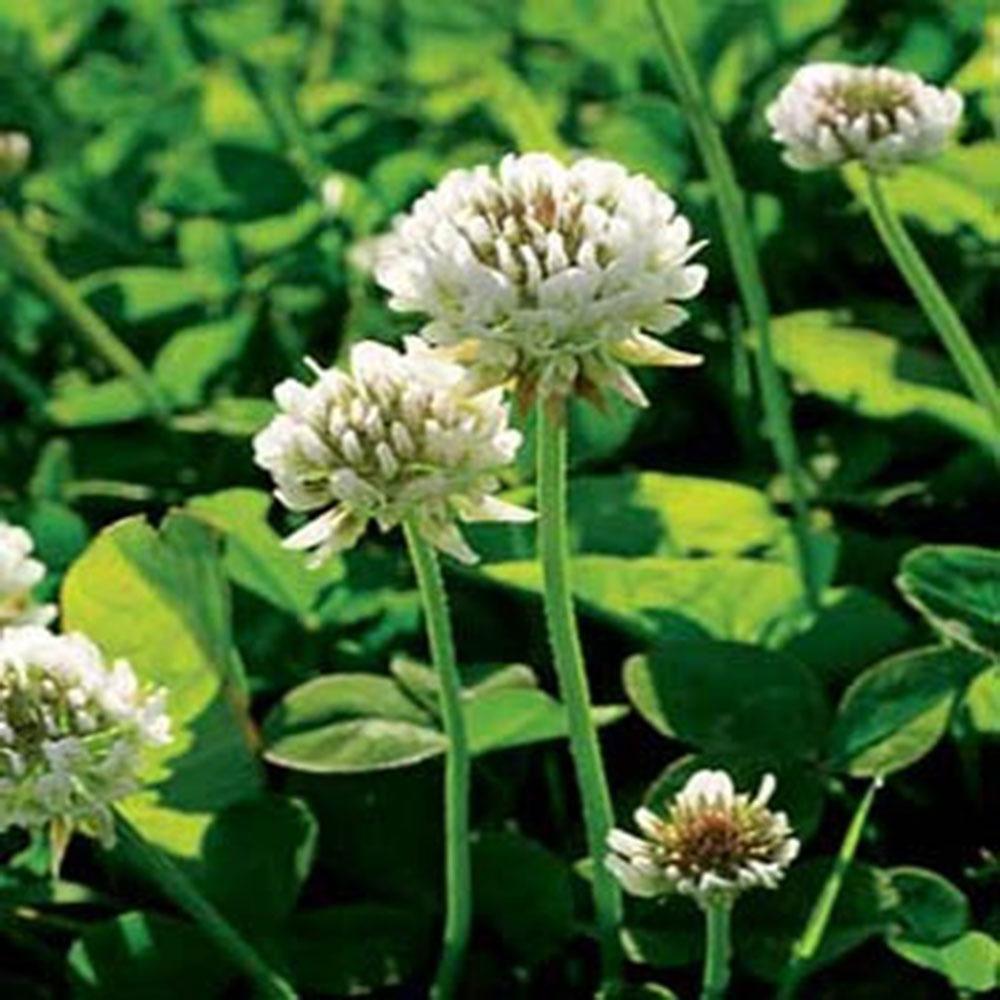 Bulk Spring/Summer Green Manures