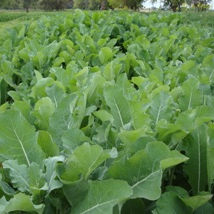 Forage Crops/Winter Feed