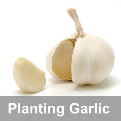 Organic Planting Garlic