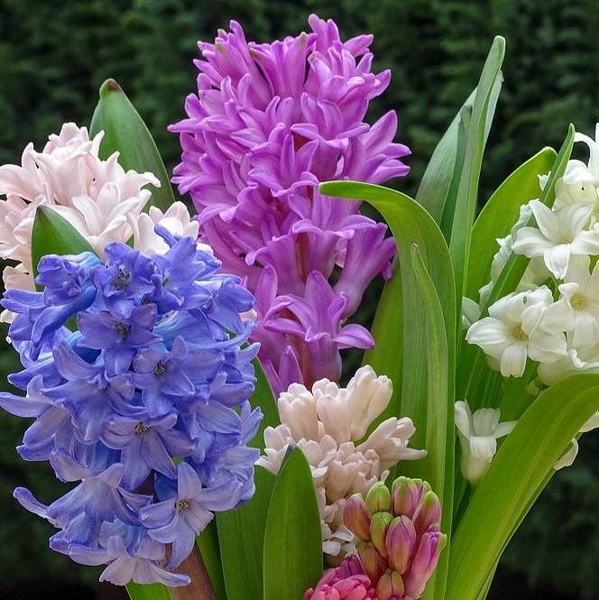 Organic Hyacinth Bulbs