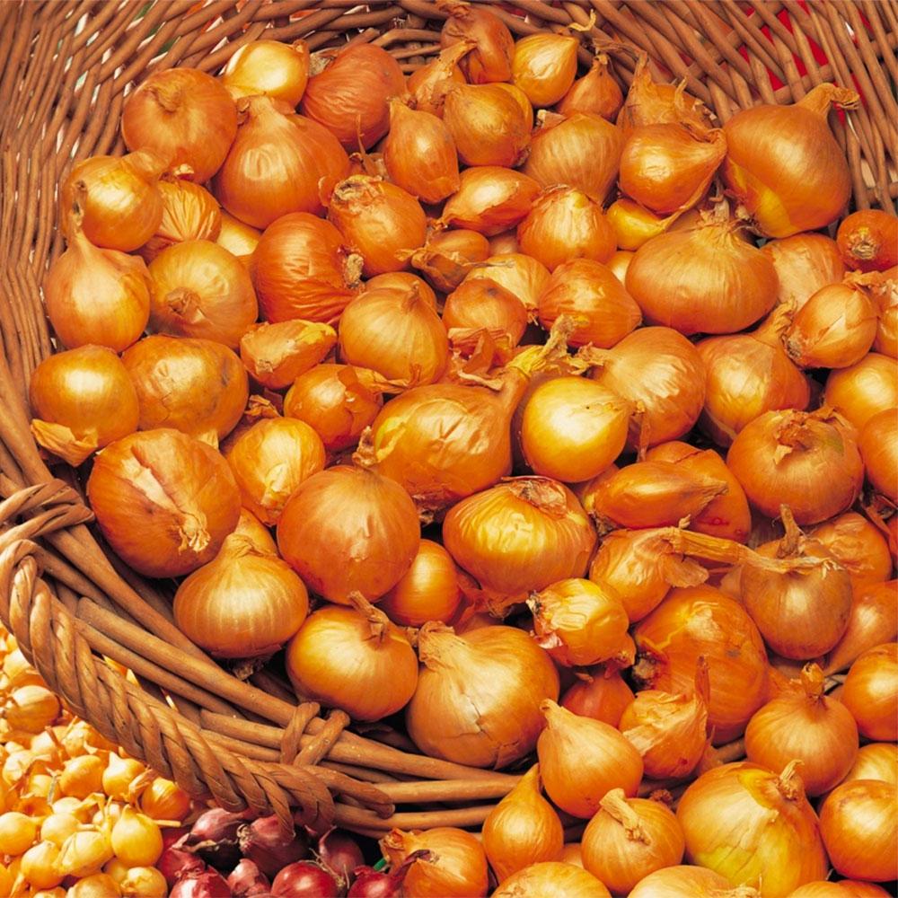 Organic Onion Sets & Shallots