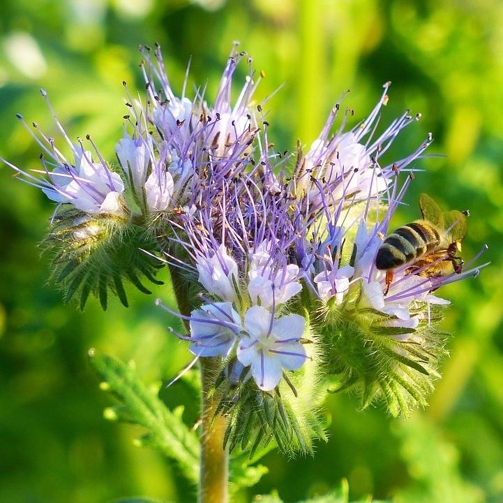 Summer Green Manure Seeds