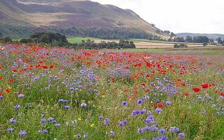Flower meadow seed mixes