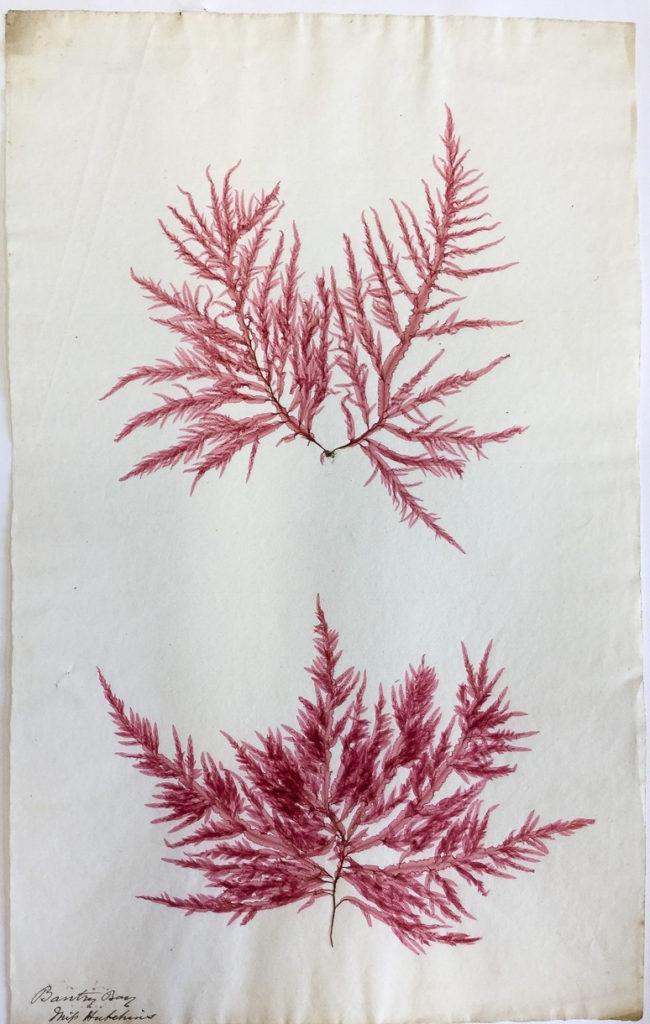 Ellen Hutchins seaweed