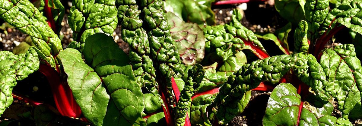 organic leaf crops