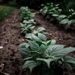 Guide to Growing Potatoes for Beginners - 6 Tips for Success