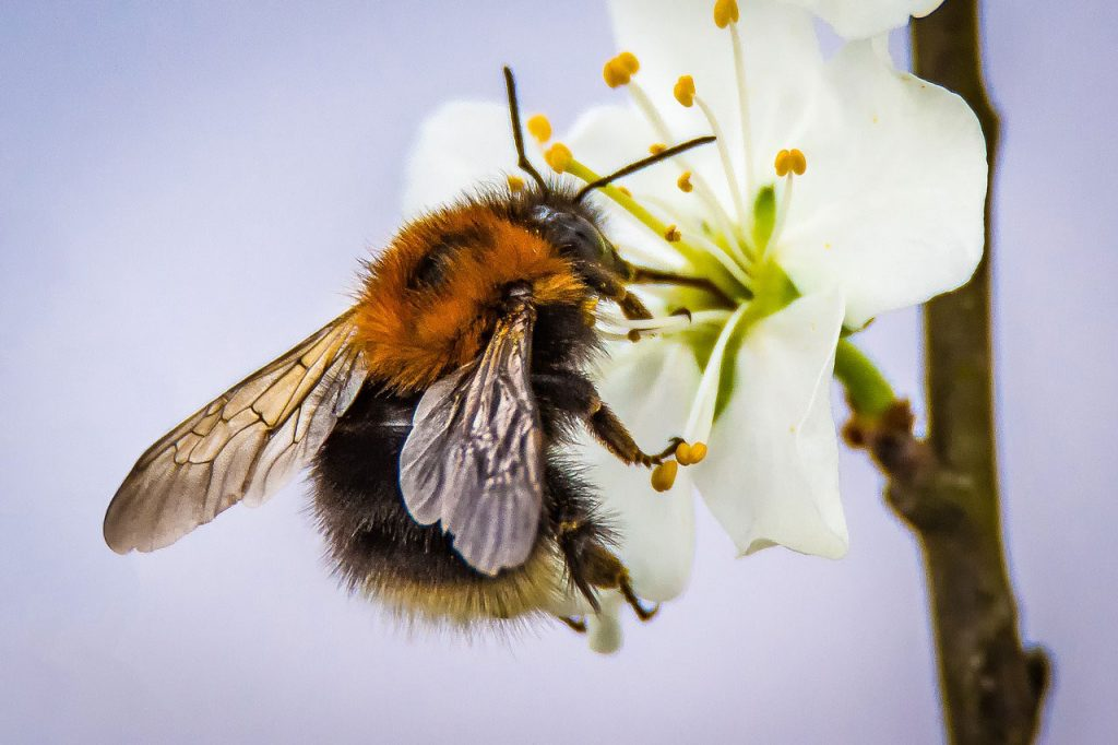 Helping Bees with Bee Friendly Practices & Plants