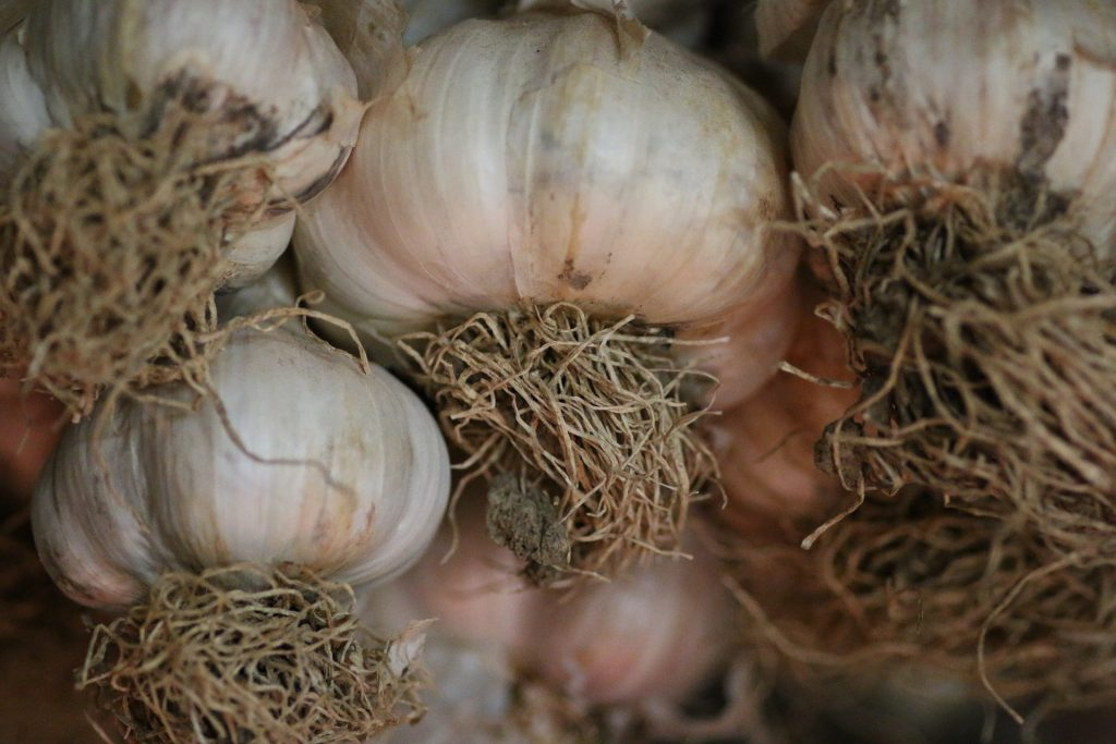 Planting & Growing 'Flavor' Softneck Garlic in Spring