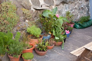 herbs-and-various-plants-in-pots-and-ocas-in-grow-bags