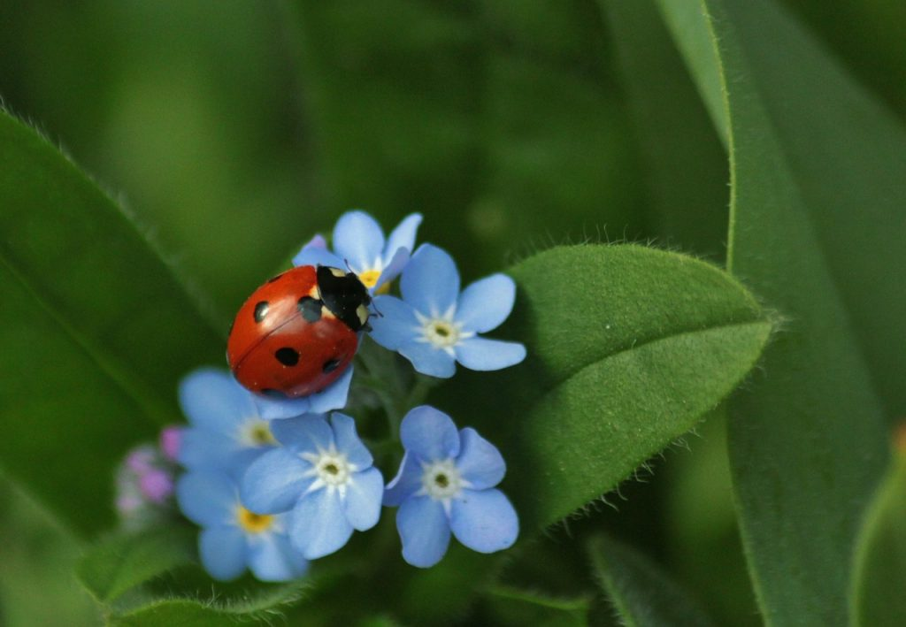 Ladybirds in the garden - the benefits they bring and how to identify them