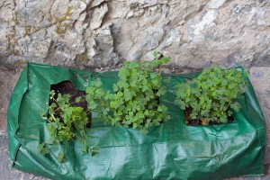 oca-tubers-growing-in-grow-bags