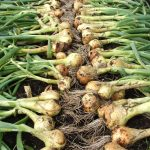 Overwintering Onions and Garlic