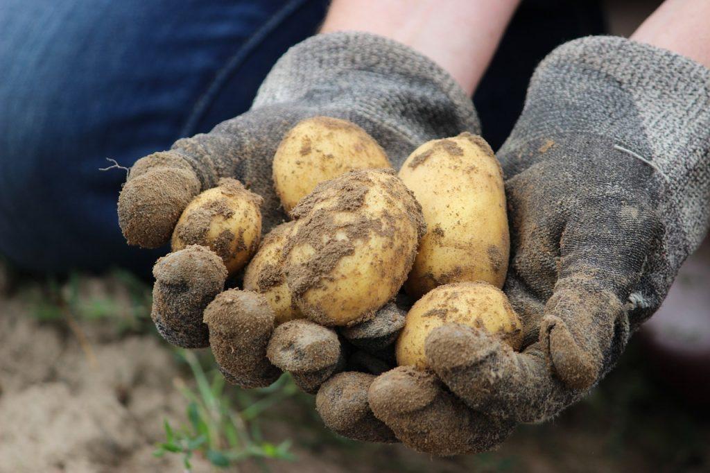 Harvesting and Storing Maincrop Potatoes