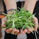 Healthy Kitchen - Sprouts and Microgreens