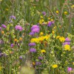 wild-flower-meadow-3386014_1280