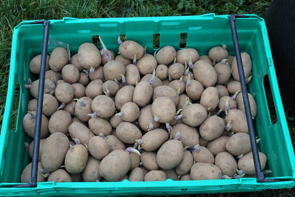 organic seed potatoes