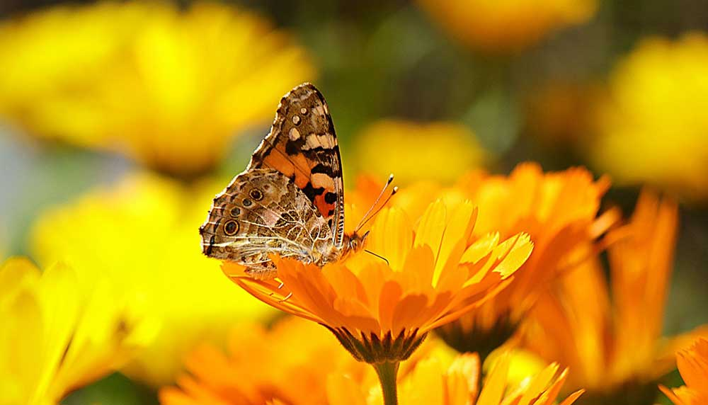 organic calendula attracting bees and butterflies