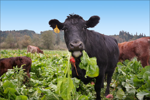 Forage crops are a cost effective way of feeding livestock