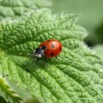 nettles and ladybird
