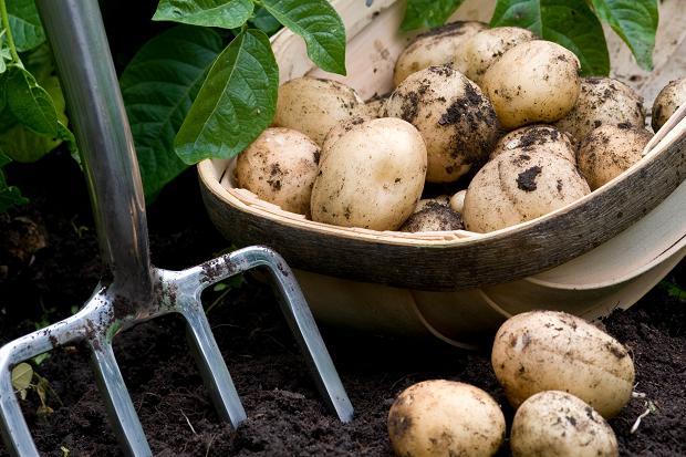 potato-harvest