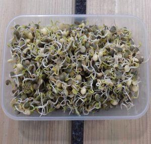 lentil sprouts, bean sprouts