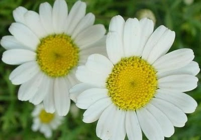 pyrethrum4