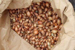 organic onion sets