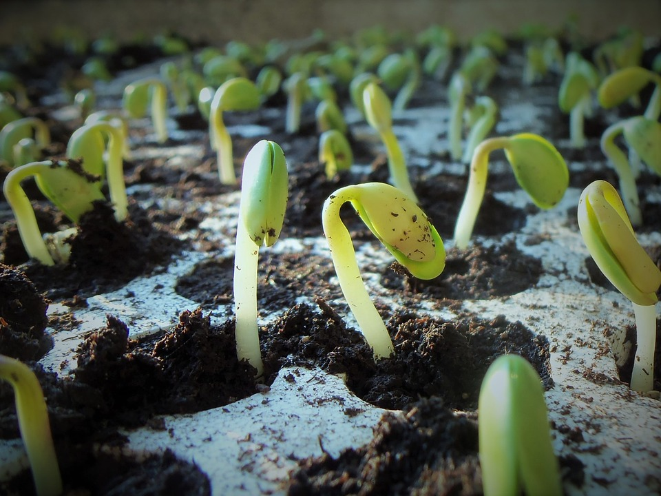 sowing seeds, germinating vegetable seeds