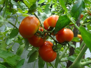 tomato-1817054_960_720